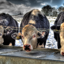 Mooove Over by Dave Hayward - Animals Other ( water, winter, cold, ice, frozen, cows )