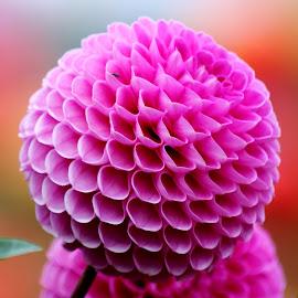 Dahlia 955 by Raphael RaCcoon - Flowers Single Flower