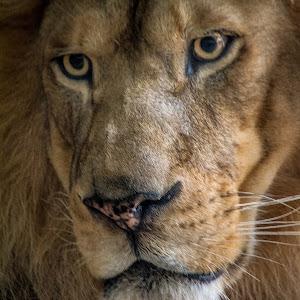 Ron Meyers - MilwaukeeZoo LionPortrait.jpg