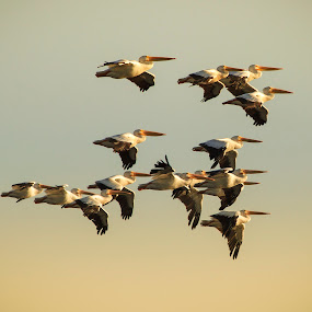 Head East by Brandon Downing - Animals Birds ( flight, animals, nature, art, colorado, wildlife, pelicans, sunrise, in, fine )
