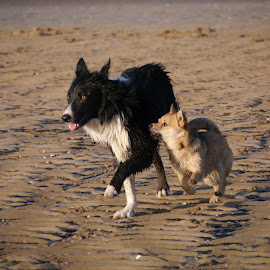 The Coach by Steve Lancaster - Animals - Dogs Playing ( sand, dogs, border collie, dogs running, beach, chihuahua, pomeranian )