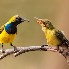 Olive-backed sunbird by Husada Loy - Animals Birds