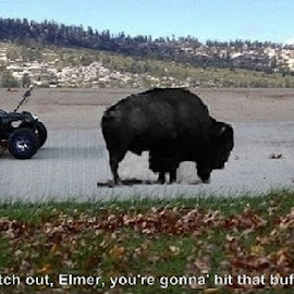 Watch out, Elmer! by Eric Michaels - Typography Captioned Photos ( car, hills, buffalo, bison, automobile, background, digital art, auto, road, leaves )