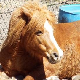 Miniature Horse by Marc Watkins - Animals Horses ( mammals, animals, horse, wildlife, miniature )