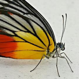 花蝴蝶 by GRaiser Li - Instagram & Mobile Android ( butterfly, nature, colorful, insect, close-up, eyes )