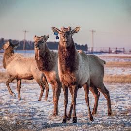 Bull Elk  by Alex Rosenkranz - Animals Other (  )