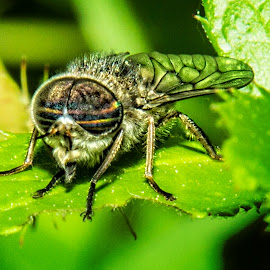 Techina Fly by Stan Lupo - Animals Insects & Spiders ( macro, compound eyes, fly, fly on leaf, diptera, close-up photography, insect,  )