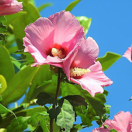Rose of sharon by Mary Gallo - Flowers Flower Gardens ( pink flowers, flowers, rose of sharon, nature, nature up close,  )