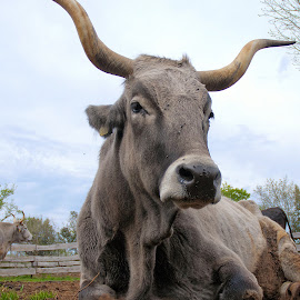 Boskarin by Elvis Pažin - Animals Other ( authentic cattle, boskarin, istria, croatia, cattle, animal )