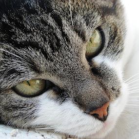 by Tina Balgavi - Animals - Cats Portraits ( , #GARYFONGPETS, #SHOWUSYOURPETS )