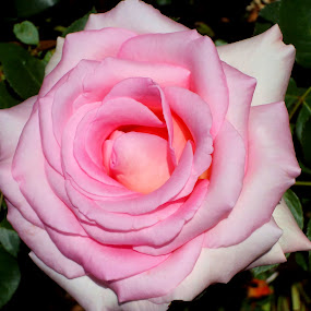pink rose by Nicole Janse van Vuuren - Novices Only Flowers & Plants