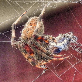 Enjoying supper by Bill Martin - Animals Insects & Spiders ( macro, life cycle, nature, color, spider, insect )