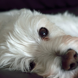 by Matthew Goldsworthy - Animals - Dogs Portraits