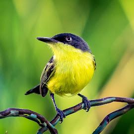 by Fares Ragunath - Animals Birds ( bird, nature, green, yellow, black,  )