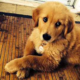 Murray Barker  by Erin Zoe Chow - Animals - Dogs Puppies ( cuteness, puppies, friends, goldens, golden retriever )