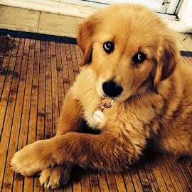 Murray Barker  by Erin Zoe Chow - Animals - Dogs Puppies ( cuteness, puppies, friends, goldens, golden retriever )