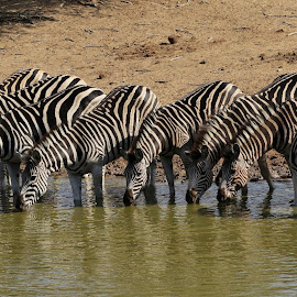 by Judy Patching - Novices Only Wildlife ( zebra wildlife nature stripes animals )