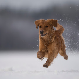 I can fly........ by Ronnie Bergström - Animals - Dogs Running ( golden retriever, nature, winter, run, brown, running, hund, sweden, dogs, golden, animals, dog, landscape, fun )