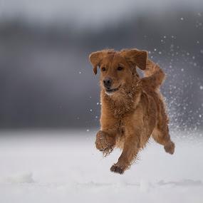 I can fly........ by Ronnie Bergström - Animals - Dogs Running ( golden retriever, nature, winter, run, brown, running, hund, sweden, dogs, golden, animals, dog, landscape, fun )