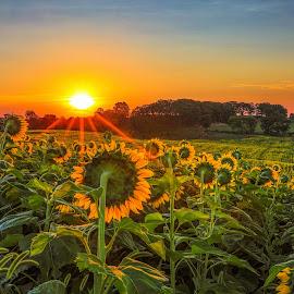 Sunflower Sunrise by Monica Hall - Landscapes Sunsets & Sunrises