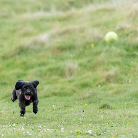 Labradoodle Fetch 3 of 4 by Anthony Ashcroft - Animals - Dogs Running ( fetch, ball, grass, labradoodle, running, cornwall, playing, shallow dof, d750, puppy, nikon, dog, tennis ball, black )