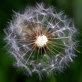 Delicate by Chrissie Barrow - Nature Up Close Other Natural Objects ( dandelion, nature, clock, green, white, brown, seeds, bokeh, closeup, seedhead )