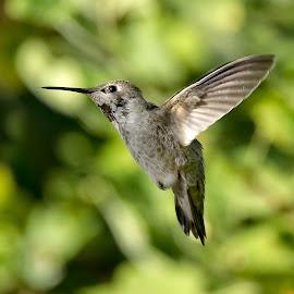 Anna's Hummingbird by Sheldon Bilsker - Animals Birds ( bird, flight, nature, hummingbird, animal )