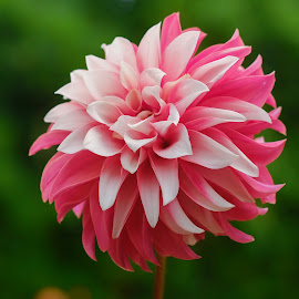 Soft Red & White Dahlia by Jim Downey - Flowers Single Flower ( red, green, white, dahlia, petals )