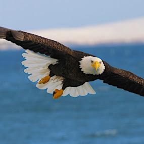 Power glide by Capt Jack - Animals Birds ( amazing, fishing alaska, flight, wow, eagle, alaska, raptor, bering sea, bald eagles, birds, patriot, Bird in flight, bif )