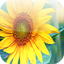 Beatiful Sunflowers Wallpapers