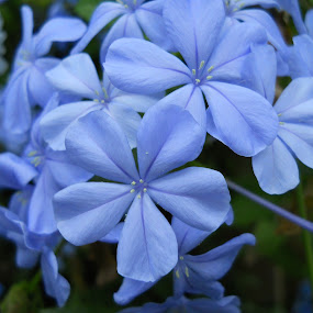 Blue Flowers by John Ogden - Nature Up Close Flowers - 2011-2013
