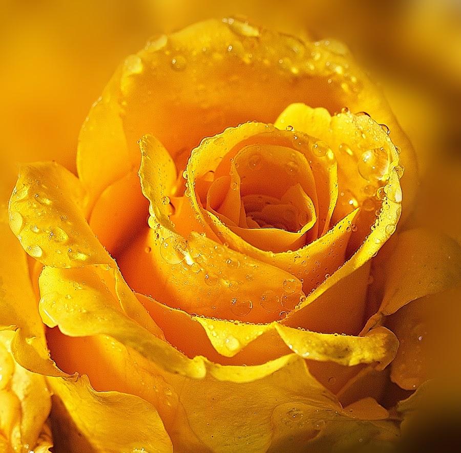 Refreshing yellow by Senthil Damodaran - Nature Up Close Flowers - 2011-2013 ( rose, nature, beautiful, yellow, flower, closeup )