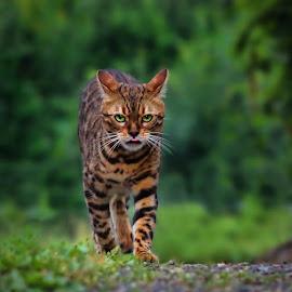 by Jane Bjerkli - Animals - Cats Portraits ( expression, attitude, cat, bengal cat, pet, portrait, animal )