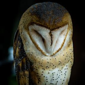 mushroom by Ryusuke Komori - Animals Birds ( bird, barn owl, owl, sleep )