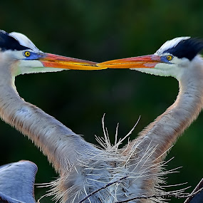 Courtship Dance by Alan Potter - Animals Birds