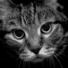 The Look by Laura Horne - Animals - Cats Portraits ( blackandwhite, face, cat, pet, whiskers, nose, portrait, animal, eyes )