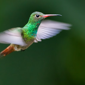 Rufus-tailed Hummingbird by Steve Bulford - Animals Birds ( bird, flying, flight, rufus-tailed hummingbird, red, ecuador, steve bulford, green, hummingbird, cloud forest, male, hover,  )