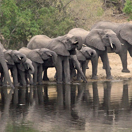 Breeding Herd! by Anthony Goldman - Animals Other Mammals ( water, wild, breeding, elephant, herd, reflections, ulusaba, mammal,  )