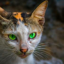 by Amrita Bhattacharyya - Animals - Cats Portraits (  )