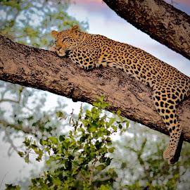 Leopard Sunset by Sean de la Harpe-Parker - Animals Lions, Tigers & Big Cats ( big cat, predator, carnivore, big cats, wildlife, mammal, leopard, animal )