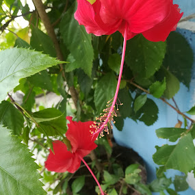 Gumamela by Adoracion Bautista - Uncategorized All Uncategorized ( gumamela, red, flora, flower,  )