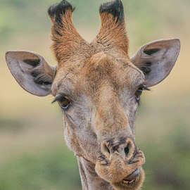 Giraffe by Dirk Luus - Animals Other Mammals ( nature, giraffe, wildlife, mammal, animal )