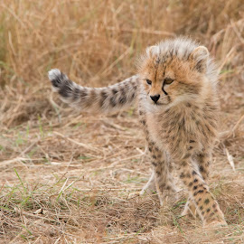 Malaika's Cub by Heather Allen - Animals Lions, Tigers & Big Cats