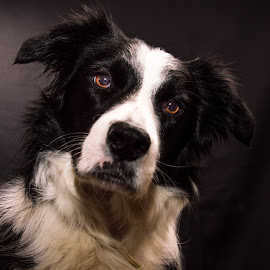 Border Collie In Studio by Thyra Schoonderwoerd - Animals - Dogs Portraits ( studio, fotografia, bordercollie, dog, photography )