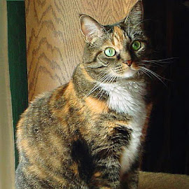 Missy's Perfect Portrait by Carol Boshears - Animals - Cats Portraits