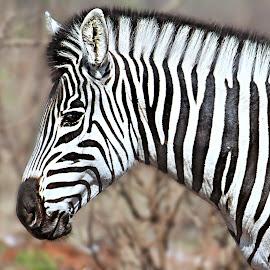 Zebra Portrait by Pieter J de Villiers - Animals Other ( mammals, kruger national park, other, animls, south africa, zebra, portrait )
