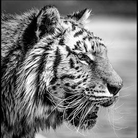 Tiger by Dave Lipchen - Animals Lions, Tigers & Big Cats ( tiger, black and white )