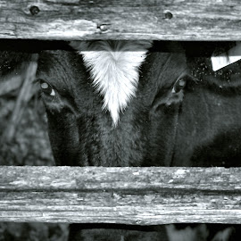 Look'n at Me ? by David W Hubbs - Animals Other ( jersey cow, black and white, farm cow, cow, black and white cow, beef cow )