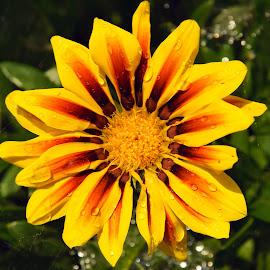 yellow gazania by LADOCKi Elvira - Flowers Single Flower