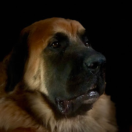Zeus  by Tom Merring - Animals - Dogs Portraits ( dogs )